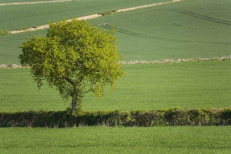 Single green tree and fields