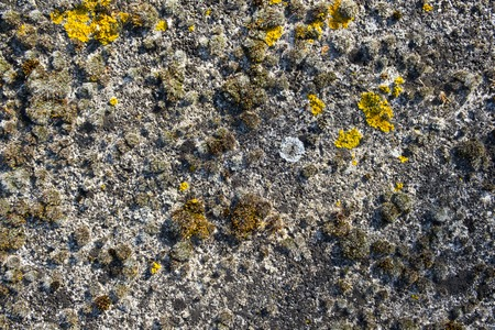 Close up of mosses and lichens on old concrete, full frame background texture