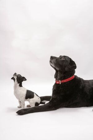 An elderly black labrador bitch and her new 3 month old Jack Chi cross puppy friend wait for a treat while they pose on a white seamless background in the studio