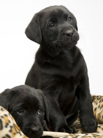 Two obedient young black labrador puppies on their bed waiting obediently