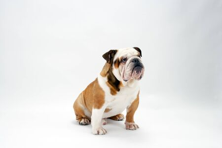 A young traditional British Bulldog sits patiently on a white seamless background looking upwards