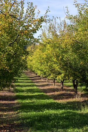 Leaves turning to autumn colours in the plum tree orchards around rural Tournon d'Agenais, Lot et Garonne, France Archivio Fotografico