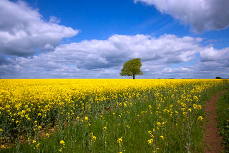 A single tree in a field of vibrant yellow oil seed rape in summer sunshine near Tetbury in the Cotswolds, Gloucestershire, UK
