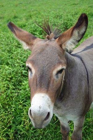 A pretty mule in a green pasture photo
