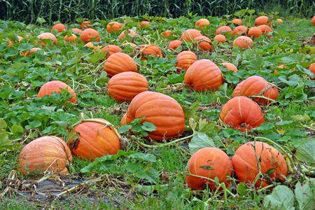 pumpkin patch: Pumpkins in a pumpkin patch in New York