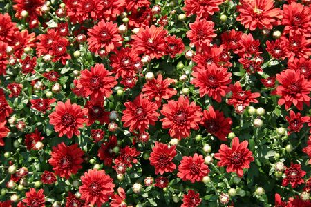 A large bunch of beautiful red Mums