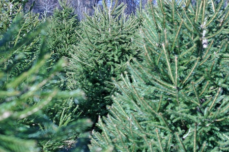 spruce tree: A Christmas Tree farm in the country