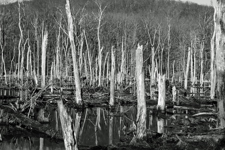 Dead trees in the woods in the winter