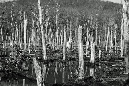 sequ�a: Los �rboles muertos en el bosque en invierno Foto de archivo