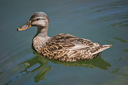 A brown duck in a peaceful pond Stock Photo