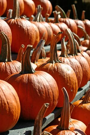 A large group of bright orange pumpkins  photo