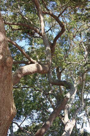 gnarled: Un �rbol retorcido y nudoso en Hilton Head, Carolina del Sur Foto de archivo