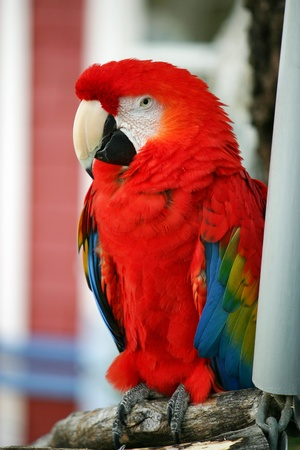 A pretty red parrot sitting on its perch photo