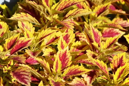 sulight: A vibrantly colored coleus plant in the sulight