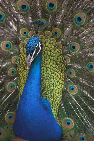 tame: Hermoso retrato de color azul pavo real