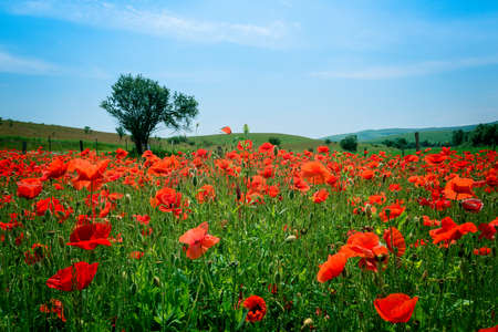 Field of poppies and tree