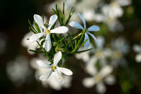 White flowers of a Wedding Bush plant Western Australia