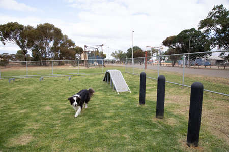 Border Collie near agility weave poles and ramp at dog park Southern Cross Western Australia