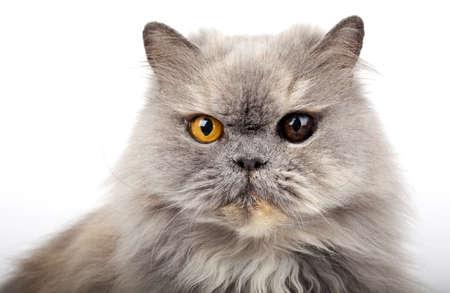 looking into camera: Gatto persiano guardando la telecamera.