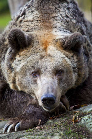 A brown Bear in Berlin Zoo, Germany.