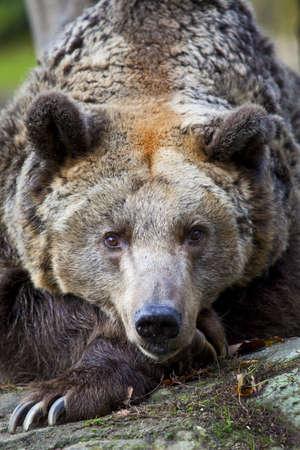 enclosures: A brown Bear in Berlin Zoo, Germany.