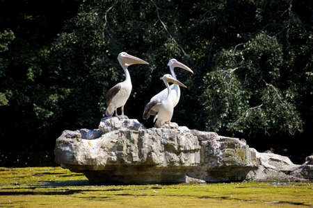 st jamess: Pelicans in St  Jamess Park in London Stock Photo