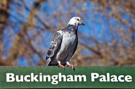 st james s: A pigeon on a Buckingham Palace Sign Stock Photo