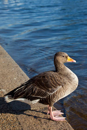 A duck sitting by the Serpentine in Hyde Park. photo