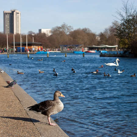 A duck sitting by the Serpentine in Hyde Park, London. photo