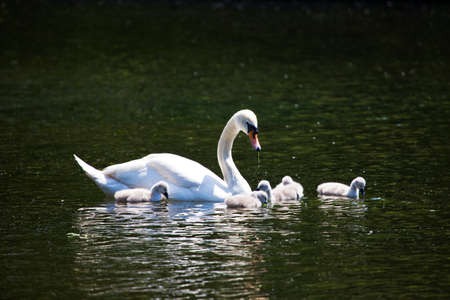 st jamess: A Swan and its young in the lake at St Jamess Park in London.