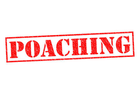 poaching: POACHING red Rubber Stamp over a white background. Stock Photo