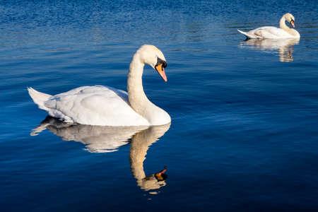 kensington: Swans on the Round Pond in Kensington Gardens, London.