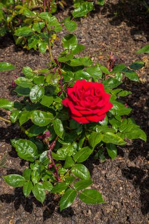 rose garden: The Rose