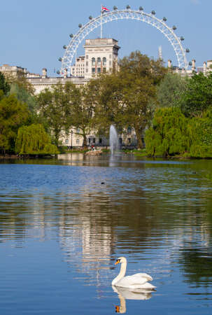 st james s: A Swan swims on the lake in St. James's Park with a view of the London Eye in the background.