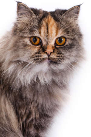 A shot of a beautiful Doll-faced Persian Chinchilla cat over a white background.