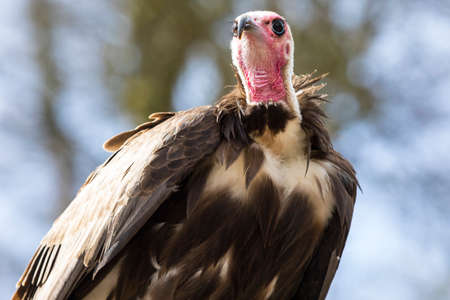 A Vulture perched on a tree stump. Stock Photo