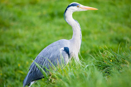 ardeidae: A Heron sitting in the grass. Stock Photo
