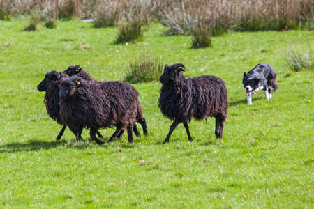 shepperd: A sheep dog herding a flock of sheep on farmland.