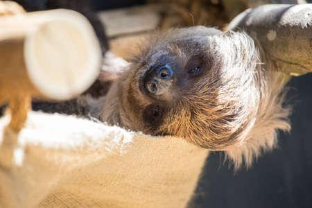 oso perezoso: Un perezoso que mira soñoliento mirando a la lente de la cámara.