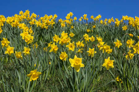 A view of beautiful Daffodils in the Spring season.
