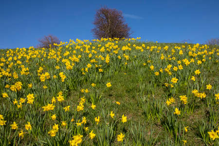 A carpet of beautiful Spring-time Daffodils located on the grassy bank at the Cliffs Pavillion in Southend-on-Sea in Essex, UK.