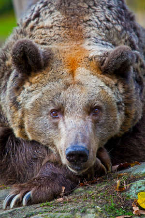 A brown bear looking into the camera.