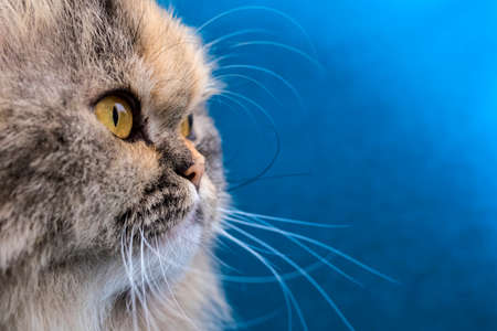 A close-up portrait of a Doll Face Persian cat. Stock Photo