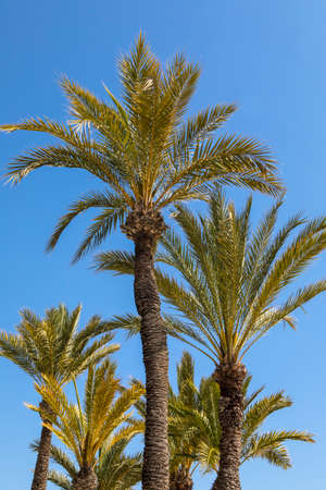 A view of Palm Trees on Levante Beach in Benidorm, Spain.