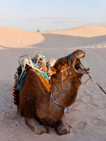 Amusing close up of camels face in the Sahara desert Фото со стока