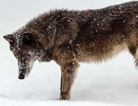 Majestic Female Grey Wolf in the Snow