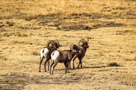 Big Horn Sheep Stock Photo - 97760392