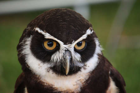 spectacled: Spectacled Owl