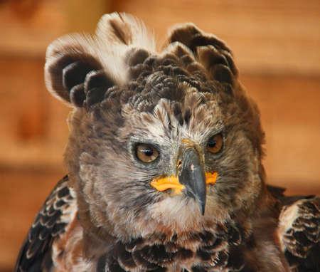 アフリカの戴冠ワシ