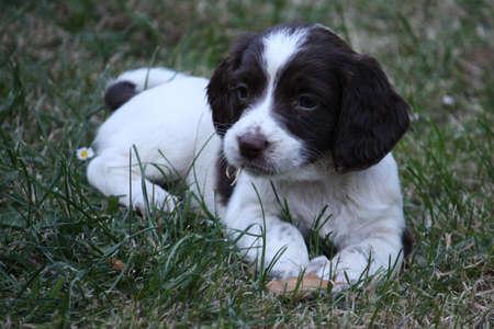 springer: Working English Springer Spaniel puppy